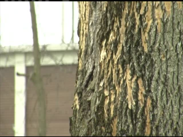 Insect destroys ash trees_78417297-159532