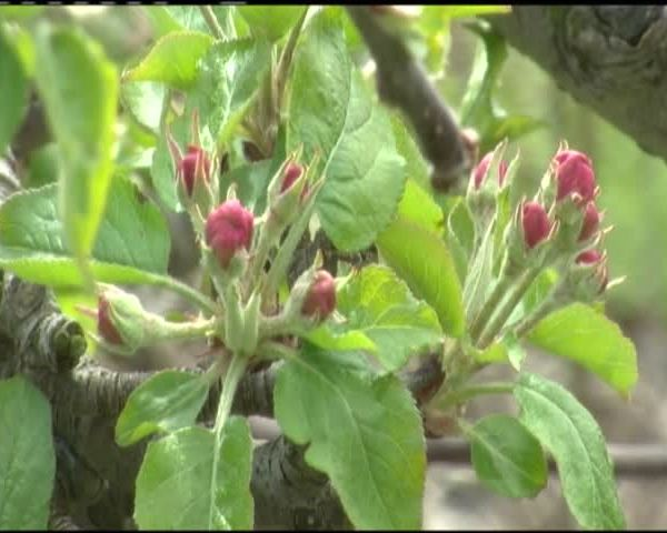 Wintry winds could hurt local orchards_31797762-159532
