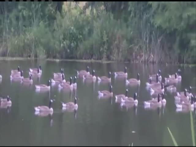 Euthanizing Geese_77971651-159532
