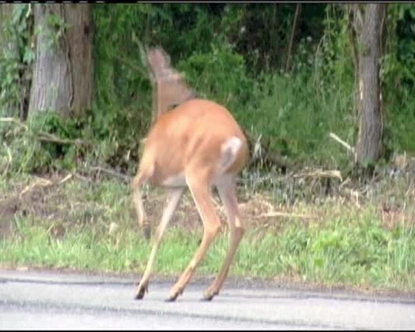 Deer - Car accidents_03843615-159532
