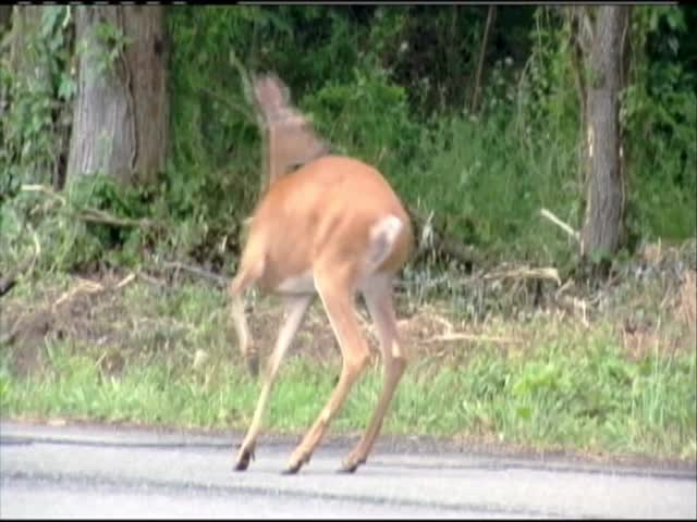Deer - Car accidents_03843615-159532