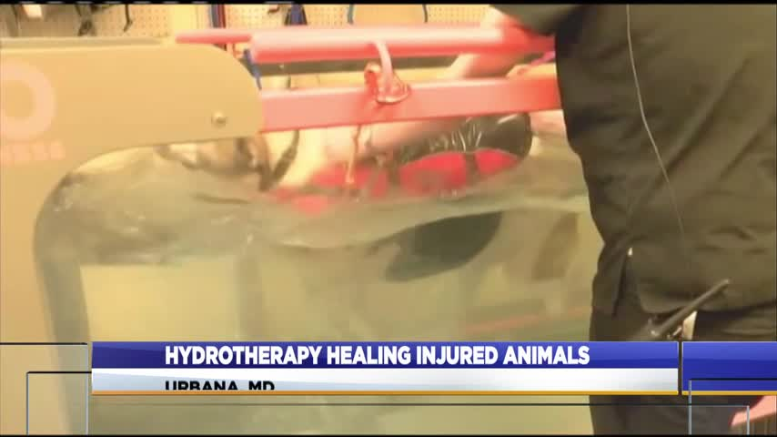 Hydrotherapy helping to heal injured animals