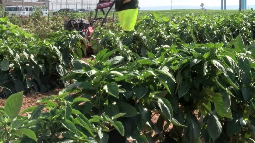 Inmates harvest crops at MCTC_77025881